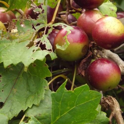 Hettie's Garden Vineyard